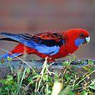Crimson Rosella in our back yard. Brisbane, Queensland, Australia. (2) by Ralph de Zilva