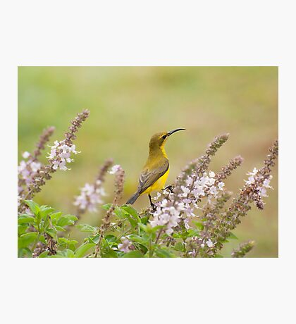 Bird in the Basil Photographic Print