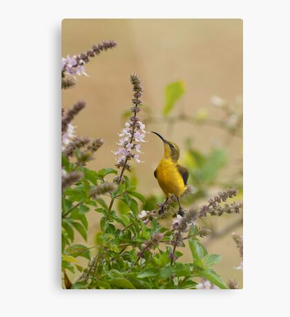 Sunbird in the basil Metal Print