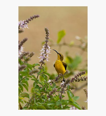Sunbird in the basil Photographic Print