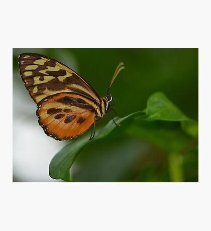 Orange, Yellow and Brown Butterfly Photographic Print