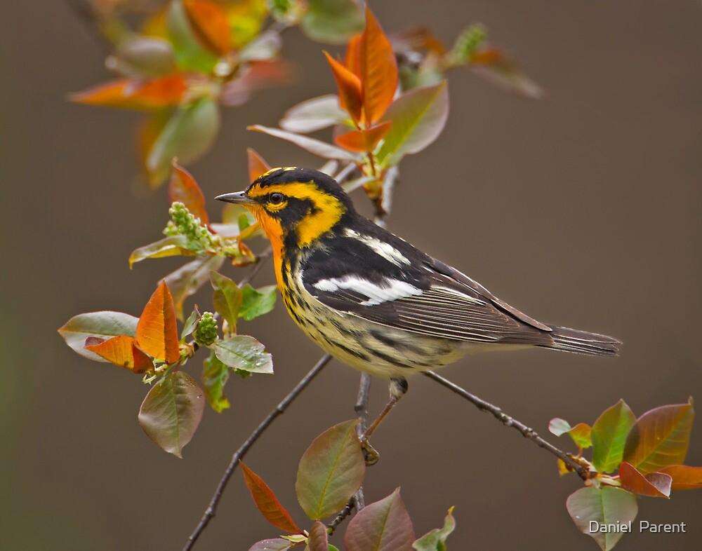 Blackburnian Warbler by Daniel  Parent
