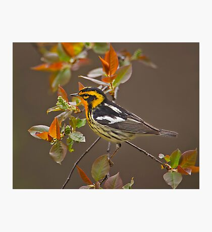 Blackburnian Warbler Photographic Print