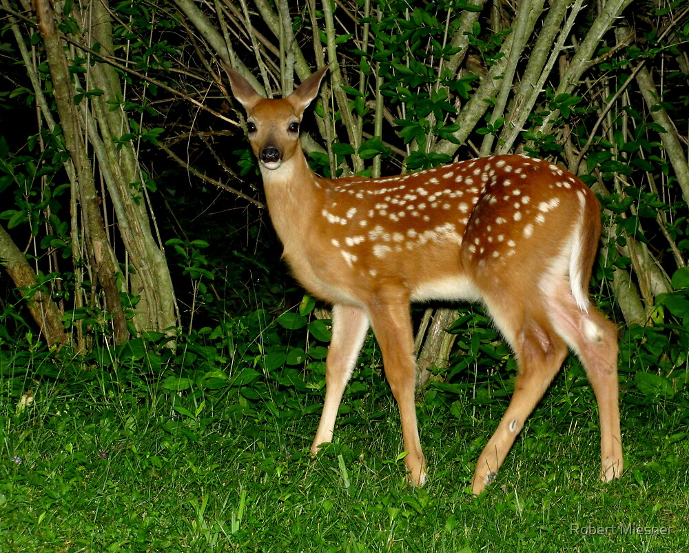Oh Hi!  Nice to Meet You (White-tailed Deer Fawn) by Robert Miesner