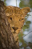Leopard (Panthera pardus) in Moremi Wildlife Reserve, Botswana by Neville Jones