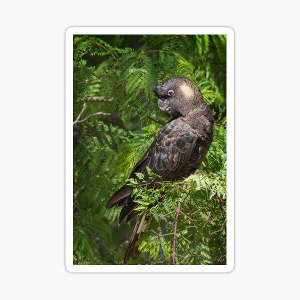 Caranby's Cockatoo, male, in the Jacaranda tree. Kardinya, W.A. Sticker