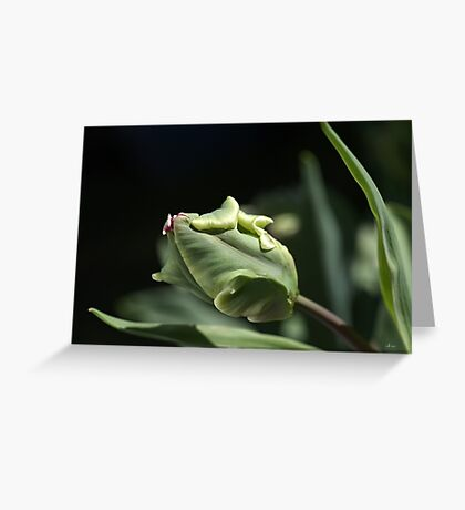 Parrot Tulip Bud Greeting Card