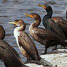Cormorant 3 by saseoche