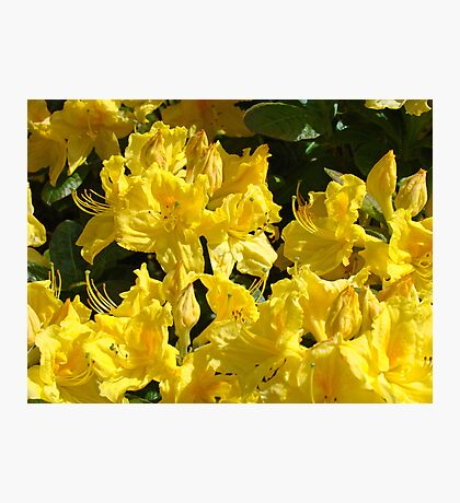 Yellow Rhodies art Colorful Rhododendrons Flowers Photographic Print