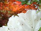 White Rhododendron Flowers art prints Baslee Troutman by BasleeArtPrints