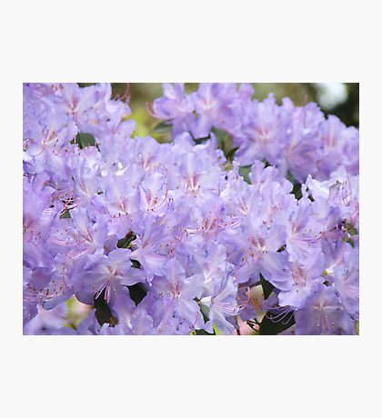 Rhododendron Flowers Purple Lavender Rhodies art Photographic Print