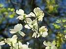 White Dogwood Flowers Tree art print Blue Sky by BasleeArtPrints