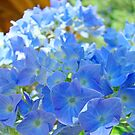 Colorful Beautiful Blue Hydrange Flower Blooming Baslee Troutman by BasleeArtPrints