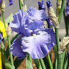 Blue Iris Flower art print Summer Botanical Floral Irises by BasleeArtPrints