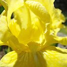 Bright Color Yellow Iris Flower art prints Baslee Troutman by BasleeArtPrints