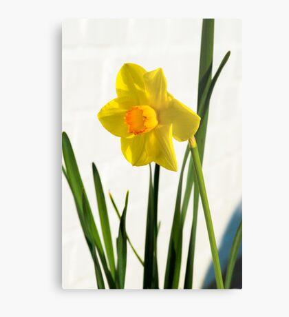 Daffodil HQ Metal Print