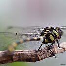Dragon Fly -2 by HamimCHOWDHURY