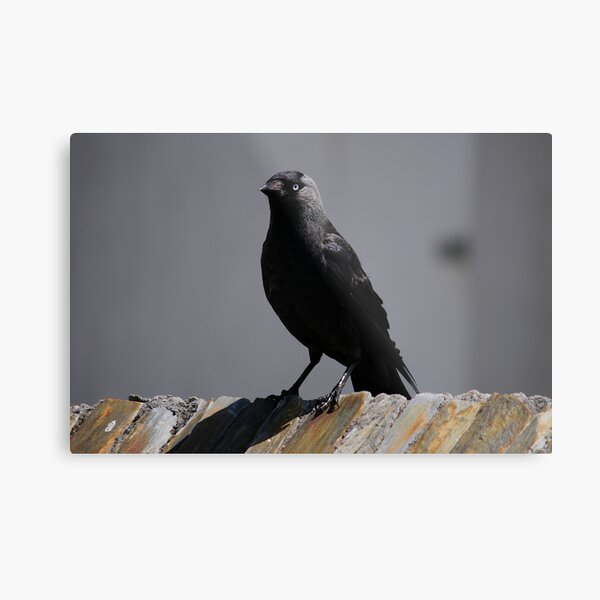 Jackdaw on parade Metal Print