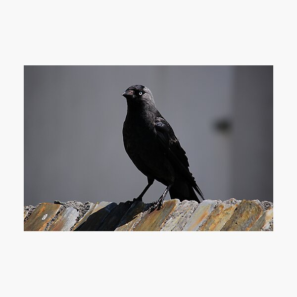Jackdaw on parade Photographic Print