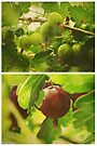 Summer: Gooseberries by Sybille Sterk