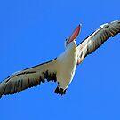 Pelican Airways by Kym Howard