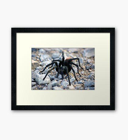Tarantula  Framed Print