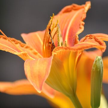 Tiger Lily by Spyder