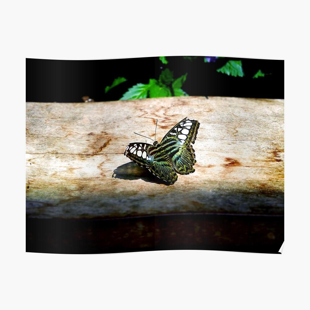 Blauer Scherer-Schmetterling Poster