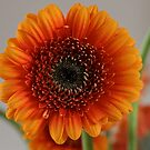 Gorgeous Gerbera by dilouise