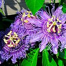 Passion Flowers by Caren