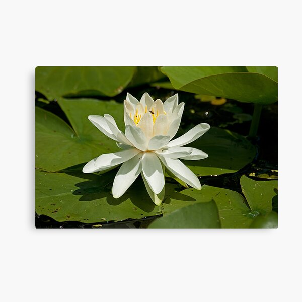 A Whiz of a Lily! Canvas Print