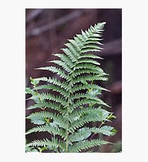 green fern in the forest Photographic Print