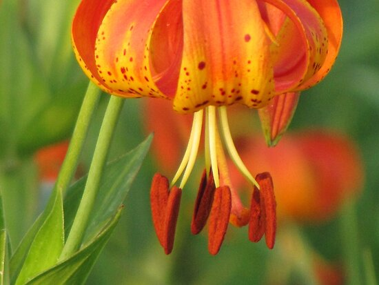 Michigan Lily by lorilee