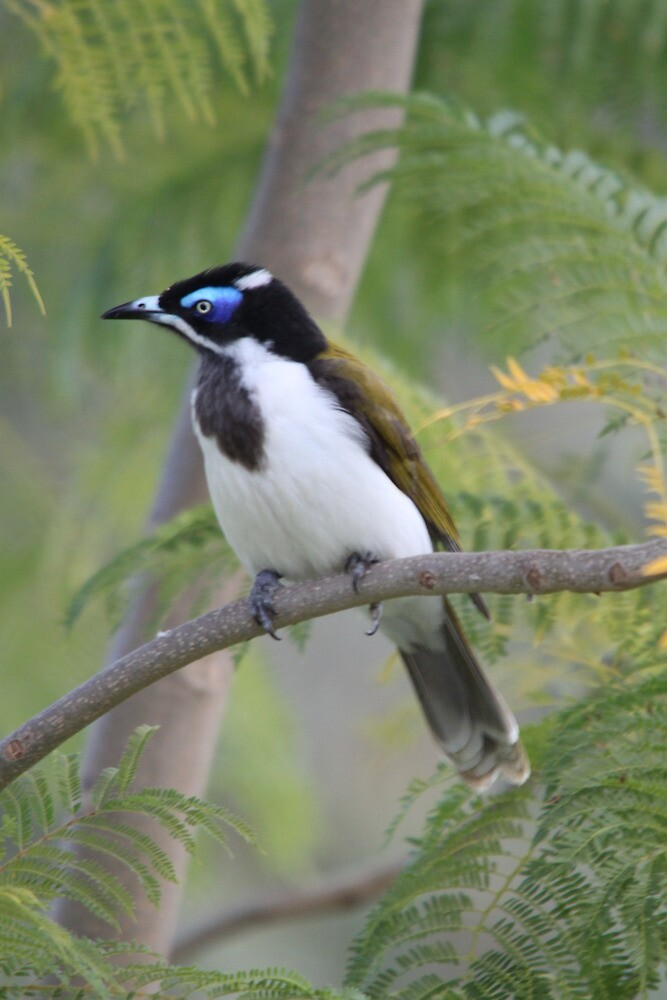 Blue-faced Honeyeater by EnviroKey
