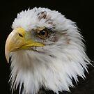 Bald Eagle Head by John Dalkin