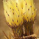 Rough Desert Beauty by steppeland