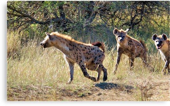 HYAENA ON THE HUNT - Spotted Hyaena - Crocuta crocuta by Magriet Meintjes