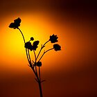 Buttercup Sunshine by geoff curtis