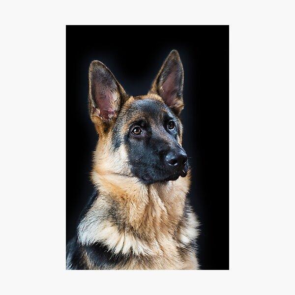 German Shepherd Dog, #12 Photographic Print