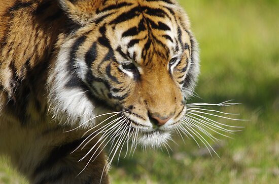 Quot Tiger S Whiskers Quot Posters By Linda Fury Redbubble