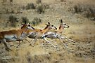 Antelope Wild and Free ~ Sierra Co, New Mexico by Vicki Pelham