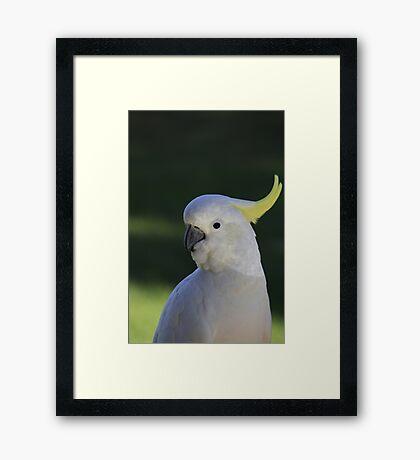 Sulphur Crested White Cockatoo Framed Print