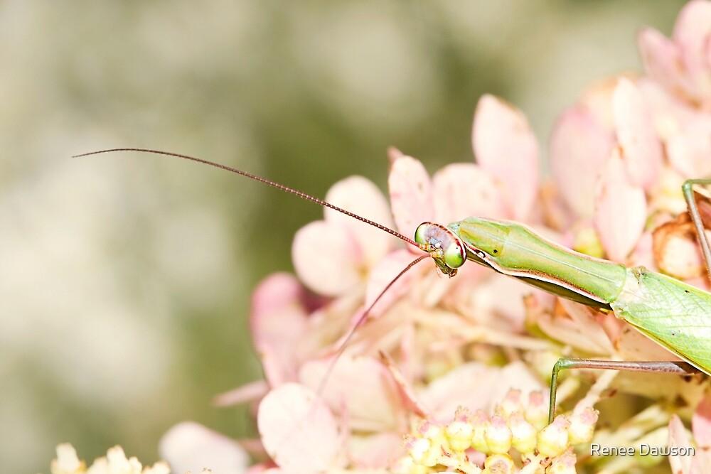Praying Mantis on Hydrangea by Renee Dawson