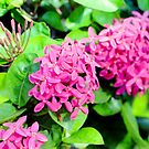 Florida Ixora Bloom Bunches by glennc70000
