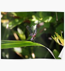 Female Dragonfly With Eggs Poster
