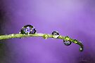 Dreaming of Violets by Renee Dawson