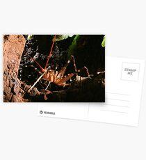 New Zealand Cave Weta Postcards