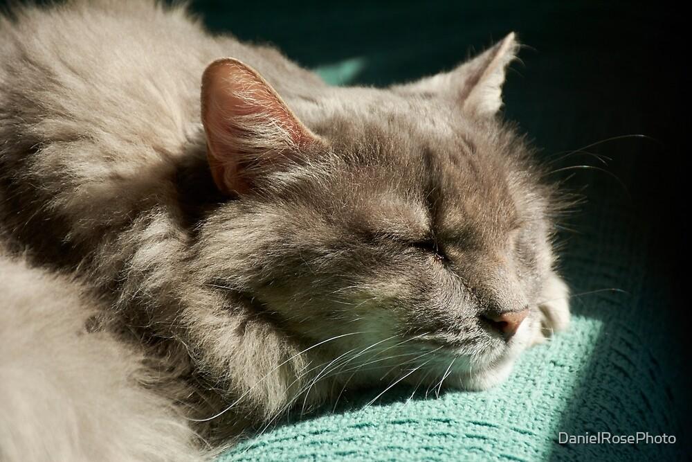 Grey Cat - Sleeping in Sunlight  by DanielRosePhoto