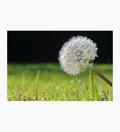 Dandy Dew Photographic Print