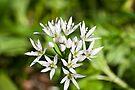 Plant, Wild garlic, Allium ursinum, flower by Hugh McKean